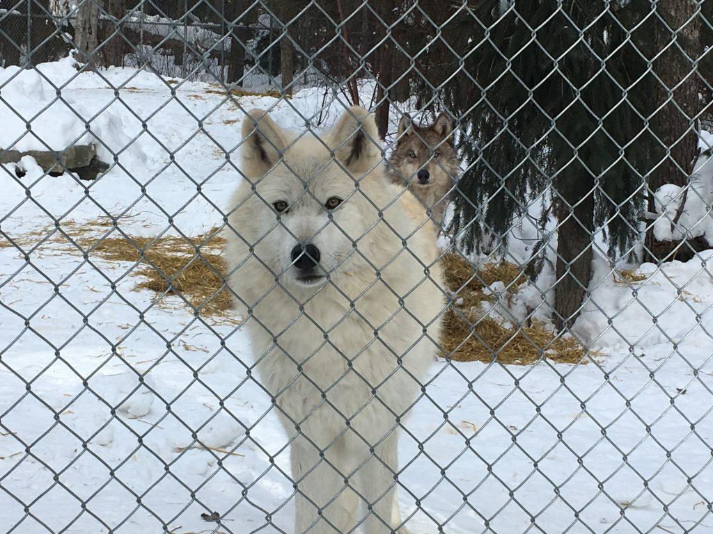 Wolves near Golden, BC, February 2018
