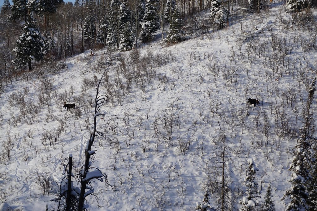 Moose spotted at Steamboat, December 2019