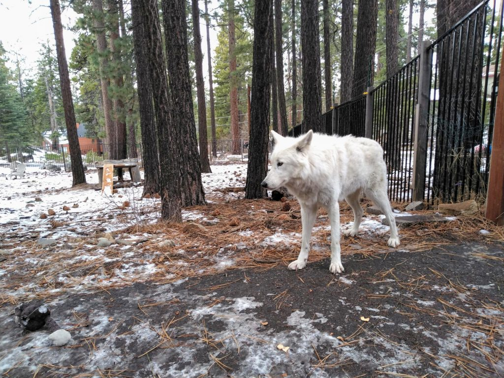 Wolf in South Lake Tahoe