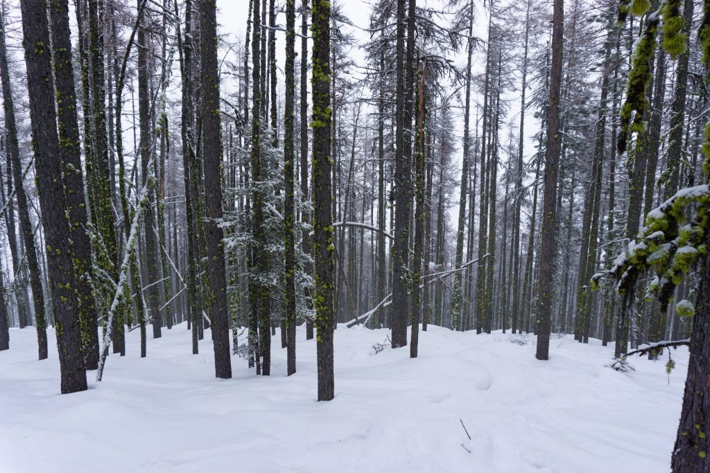 Tamarack forest, February 2020